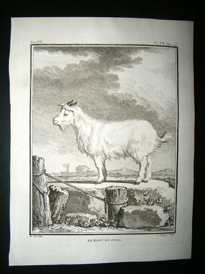Buffon: C1770 Goat of Judah, Engraving | Albion Prints